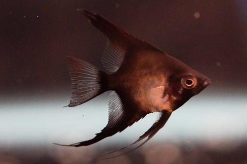 Double Dark Sealpoint Angelfish