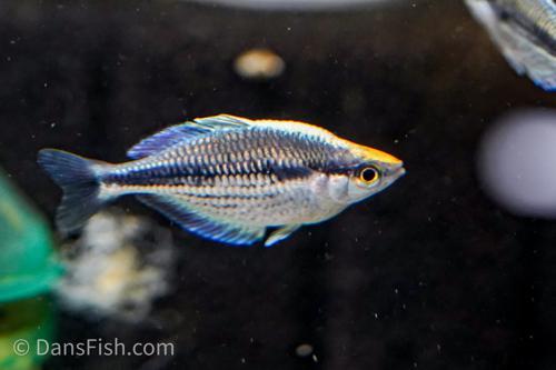 Dwarf Kamaka Rainbowfish