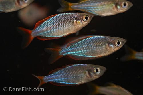 Dwarf Neon Rainbowfish