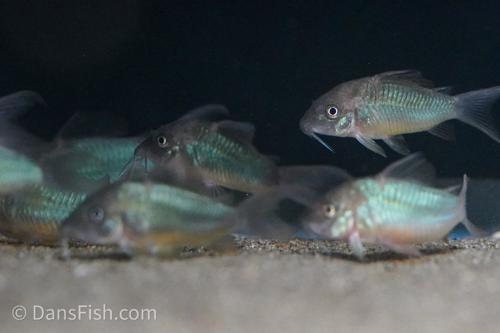 Emerald Catfish
