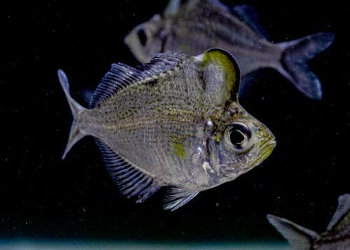 Hump Head Glass Fish