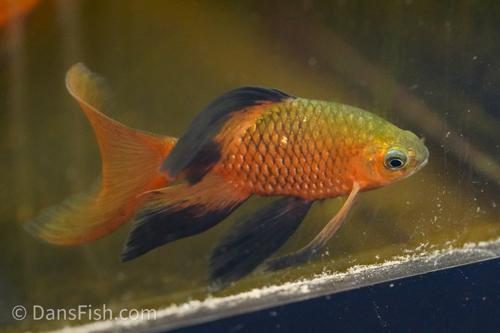Longfin Rosy Barb - Show Stopping Males