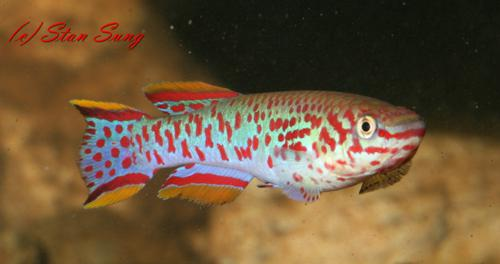 My All Time Favorite Killifish - Males