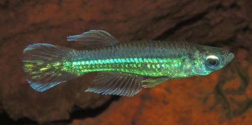 Poropanchax cf. luxophthalmus