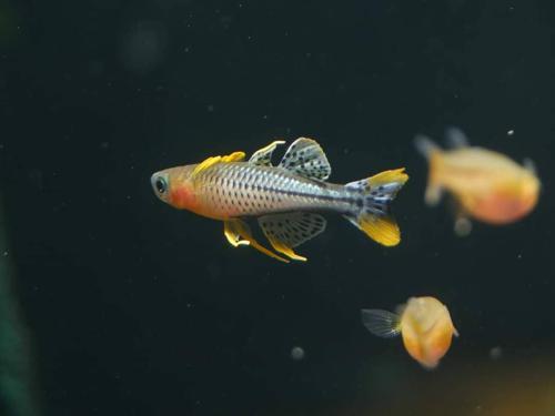 Pseudomugil gertrudae Aru IV