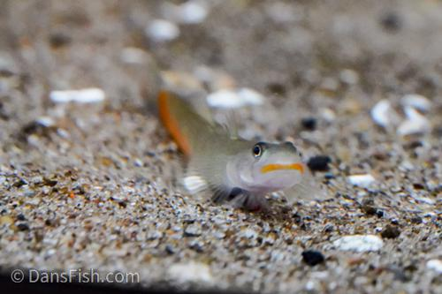 Red Lipstick Goby