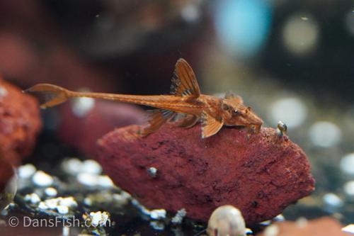 Red Lizard Whiptail Catfish