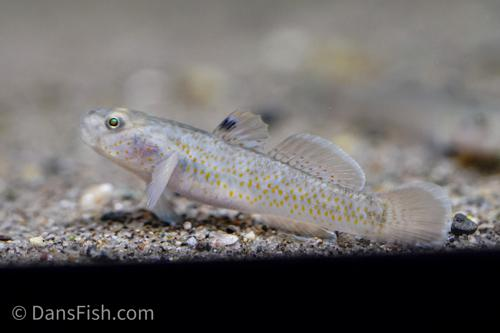 Red Spot Goby - Pellet Trained