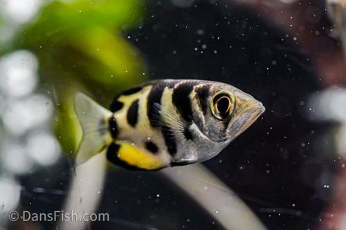 Small Scale Archer Fish
