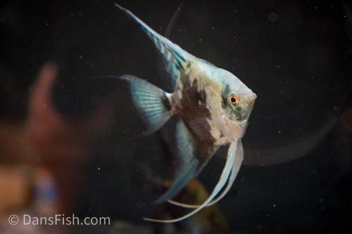 Smokey Blue Pinoy Angelfish - Adults