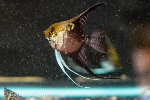 Smokey Pinoy Angelfish - Adults