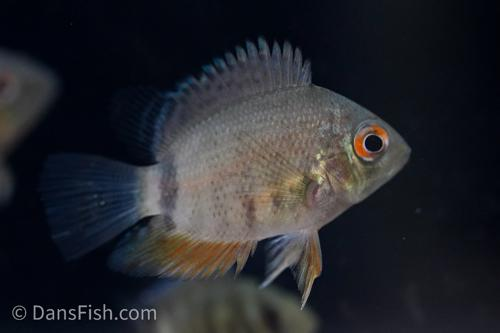 Spotted Severum
