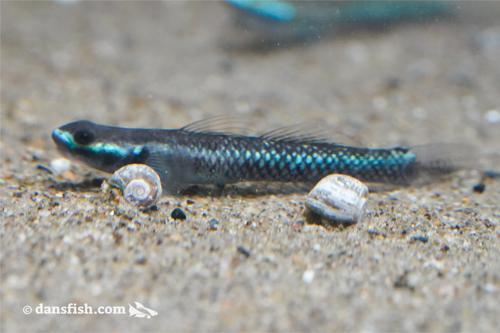 Stiphodon elegans