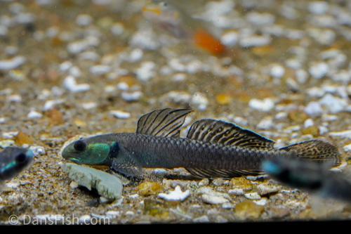 Stiphodon pelewensis Goby