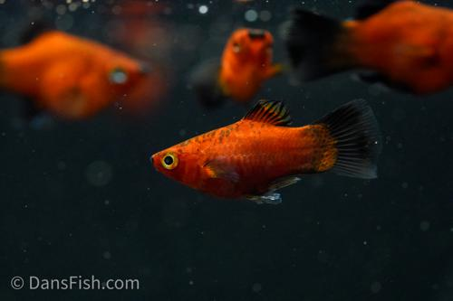 Teacup Red Wag Platy