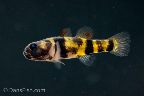 True Freshwater Bumblebee Goby