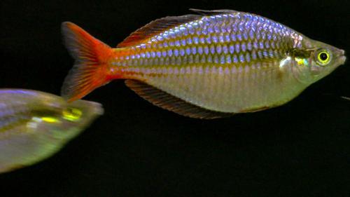 Wapoga Red Laser Rainbowfish