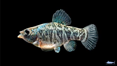 pup fish killie