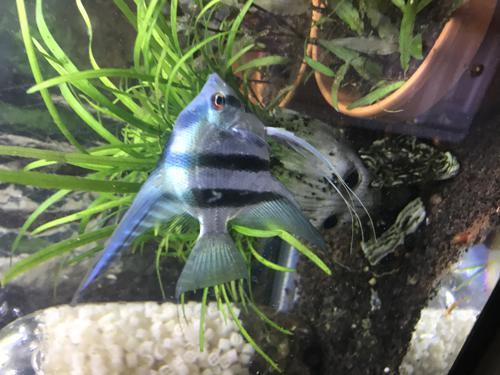 quarter-50 cent size  Philippine Blue  Angelfish