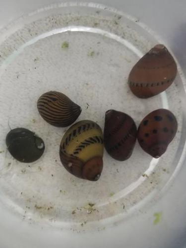 10 Assorted Fancy Nerite Snails - Live Tropical Freshwater Aquarium Snails