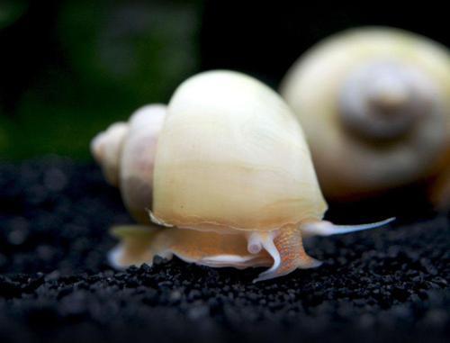 Ivory Mystery Snails - 10 Pack