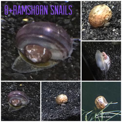 10+ramshorn snails 🐌