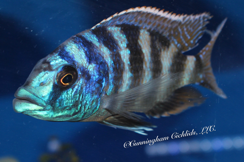 "Placidochromis milomo @ 1"""