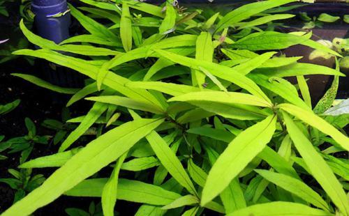 Hygrophila siamensis '53b'