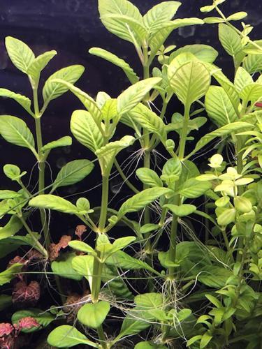 Limnophila rugosa