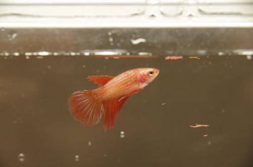 Red Delta Male
