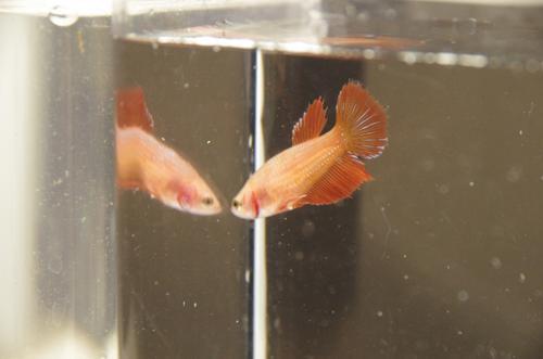 Red Female Betta