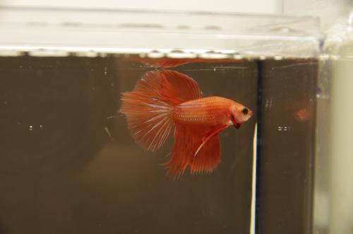 Red Super Delta Male