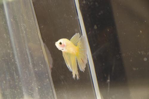 Yellow Super Delta Male