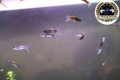 FREE SHIPPING - 3 PAIRS OF BEAUTIFUL SWORDTAIL GUPPIES!!!