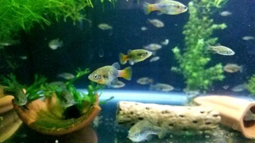 Redtail Splitfin Juveniles