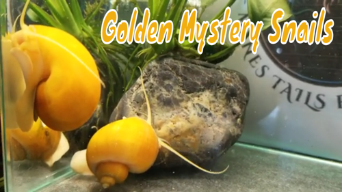 10 young Golden Mystery Snails