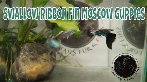 1 Pair of Purple Moscow Ribbon Swallow Fin Guppies