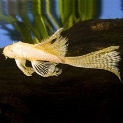Long fin Albino Bristle nose Plecos
