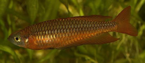 10 Rhadinocentrus ornatus from Snapper Creek
