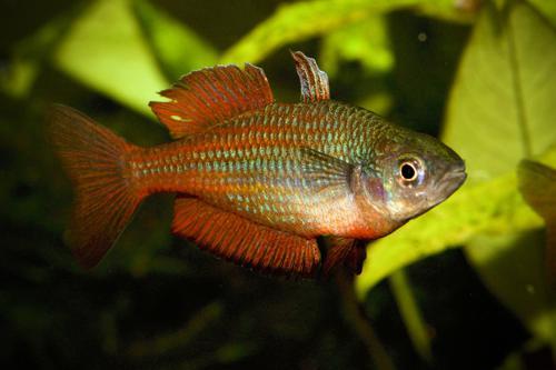 4 Malanda rainbow fish from Williams Creek