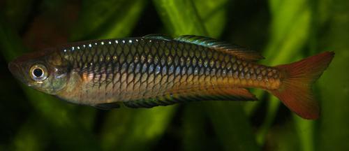 10 Rhadinocentrus ornatus from Carland Creek