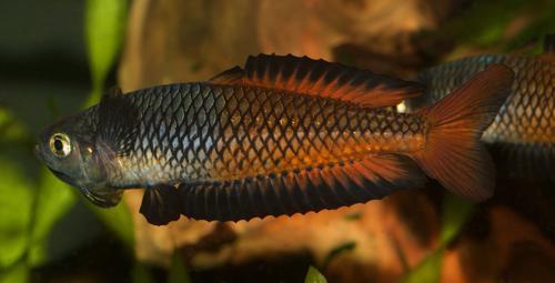 10 Rhadinocentrus ornatus from Teewah Creek