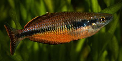 8 Melanotaenia klasioensis