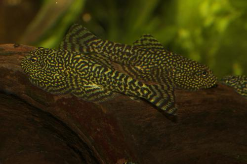 8 Spotted hillstream loaches SEW01