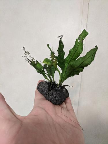 Small Trident and regular Java Fern on Black Lava Rock