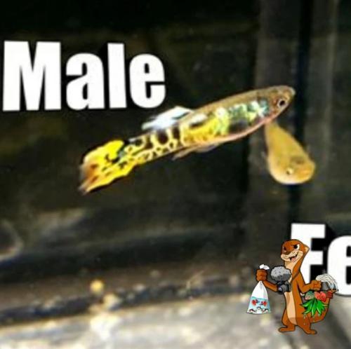 Yellow Tiger Endler Fry (5 Pack)