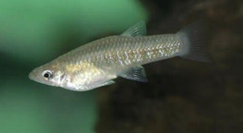 Girardinus Metallicus | Metallic Livebearer | 2 Day Ship | From Aquarium Co-op