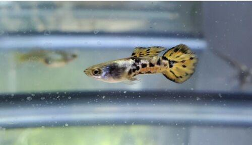 Vienna Guppy Pair | From Aquarium Co-Op | 2 Day Shipping