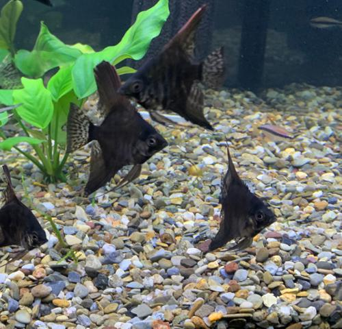 SMALL Blue marble and Dark Blue Pinoy Angelfish - 2 pack