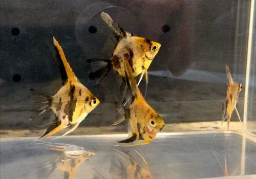 Koi Angelfish Juveniles - 2 pack